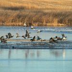 saskatchewan-ducks